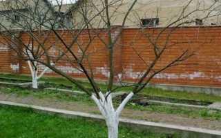 Как ухаживать за деревом сливы. Слива, выращивание. Борьба с болезнями и вредителями сливы