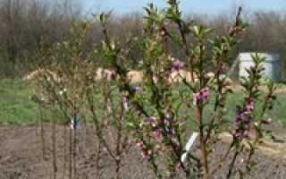Слива уход весной советы. Как ухаживать за сливой. Что нужно знать