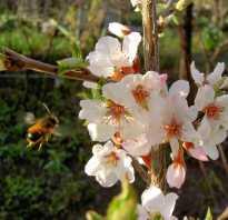Уход за сливами деревья молодые. Уход за сливой весной. Борьба с вредителями. Уход за сливовым деревом после цветения