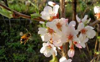 Уход за сливой во время цветения. Уход за сливой — грамотные советы для хорошего урожая. Укрепление плодовых ветвей подпорками