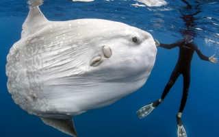 Рыба луна самый большой размер. Луна-рыбы