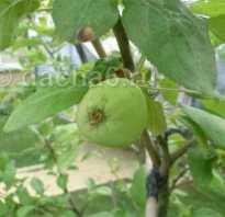 Гвозди в огороде. Ржавые гвозди в помощь яблоне. Как в Англии