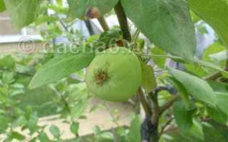 Зачем вкапывают гвоздь в землю. Ржавые гвозди в помощь яблоне. Как в Англии