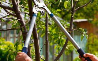 Уход и выращивание сливы в домашних условиях. Как обрезать сливу весной? Обрезка старой сливы и уход за ней Как ухаживать за сливой во время цветения